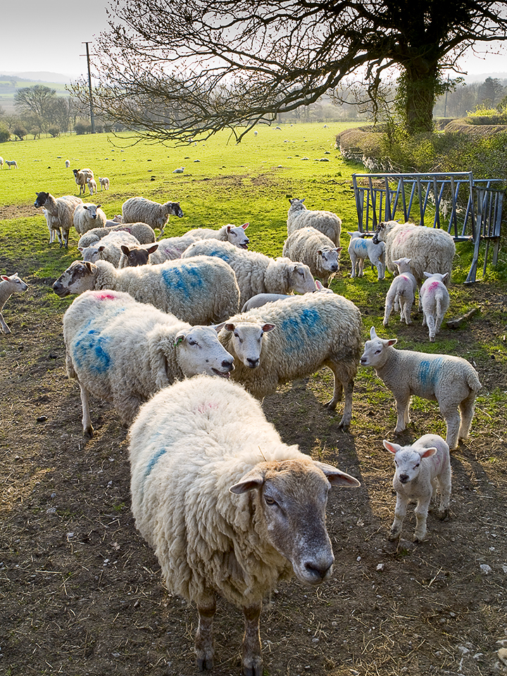 Sheep at Chapel Hill in Wharfedale