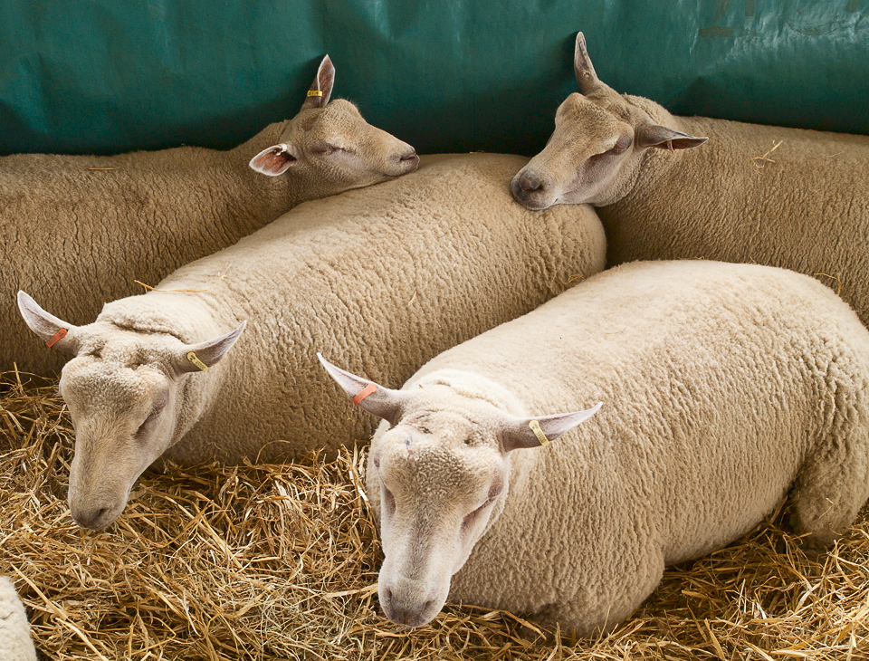 Sheep, Great Yorkshire Show, 2011