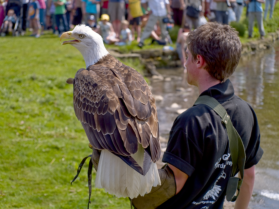 White tailed sea eagle and handler, Otley show 2010