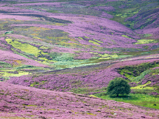 Heather covered moors, Reeth