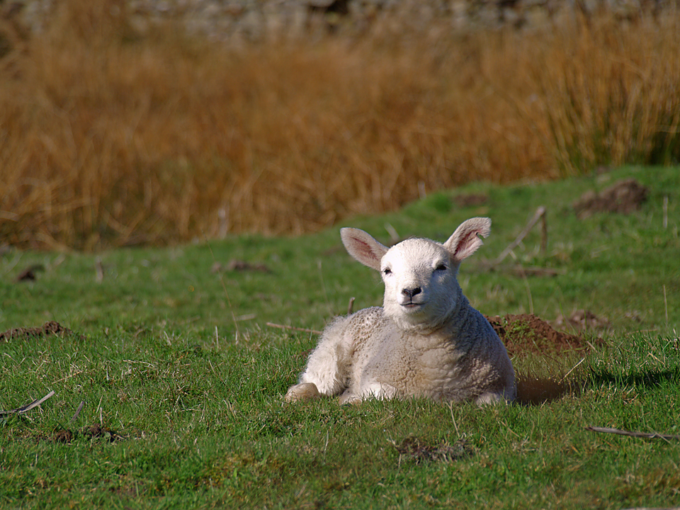 Lamb at Outershaw side