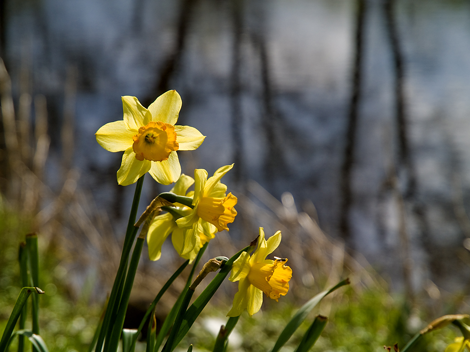 Riverside daffodils at Netherby, Wharfedale, Yorkshire